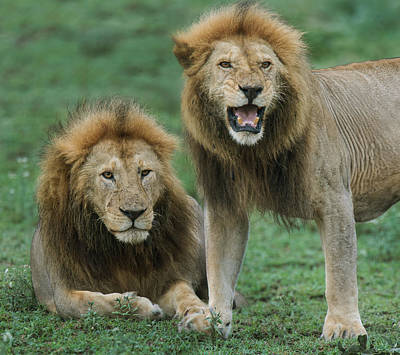 Close-up Of Two African Lions Panthera Print by Panoramic Images