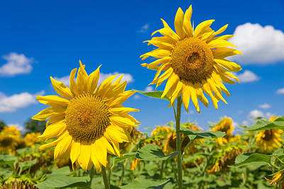 Close Up Of Two Big Yellow Sunflowers Print by Semmick Photo
