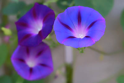 Photograph - Close Up Of Vibrant Purple Morning Glory Flowers by Barbara Rogers