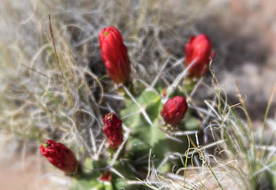 Photograph - Close Up Of Vibrant Red Claret Cup Cactus Buds by Barbara Rogers