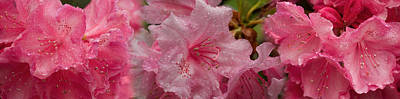 Stamen Photograph - Close-up Of Wet Rhododendron Flowers by Panoramic Images