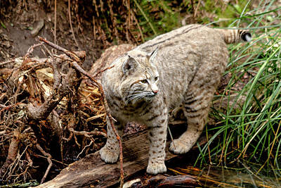 Photograph - Close Up Of Wild Bobcat by Teri Virbickis