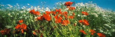 Close-up Of Wildflowers And Poppies Art Print by Panoramic Images