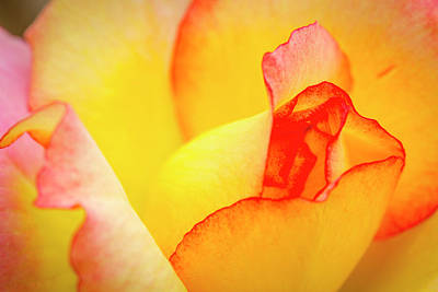 Photograph - Close Up Of Yellow And Pink Rose by Teri Virbickis