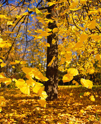 Fallen Leaf Photograph - Close-up Of Yellow Leaves Of A Tree by Panoramic Images