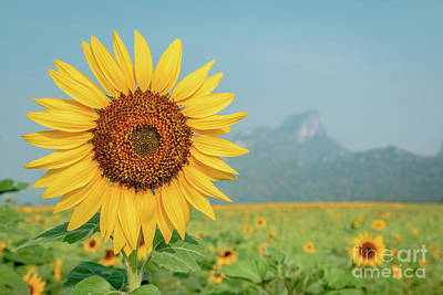 Art Print featuring the photograph Close-up On Sunflower. by Tosporn Preede