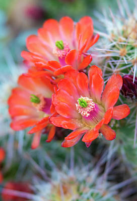 Photograph - Close Up Orange Claret Cup Cactus Flowers by Barbara Rogers Nature Inspired Art Photography