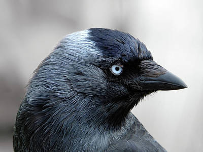 Photograph - Blue Eyes - Jackdaw by Philip Openshaw