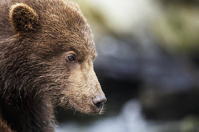 Close Focus Nature Scene Photograph - Close-up Portrait Of Coastal Brown Bear by Paul Souders
