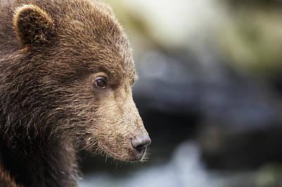 Close-up Portrait Of Coastal Brown Bear Art Print