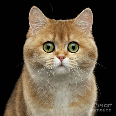 Close-up Portrait Of Golden British Cat With Green Eyes Print by Sergey Taran