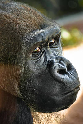 To Dominate Photograph - Close Up Portrait Of Gorilla by Aaron Sheinbein