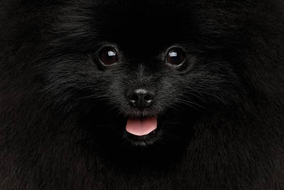 Photograph - Close-up Portrait Of Happy Pomeranian Spitz Dog by Sergey Taran