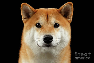 One Dog Photograph - Close-up Portrait Of Head Shiba Inu Dog, Isolated Black Background by Sergey Taran