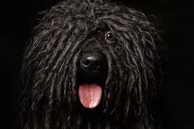 Close Up Portrait Of Puli Dog Isolated On Black Print by Sergey Taran