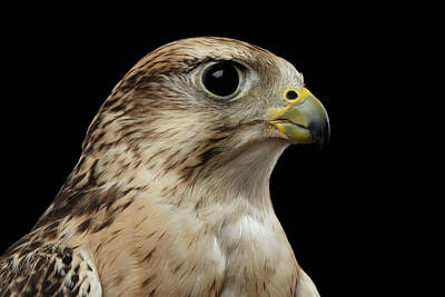 Falconry Photograph - Close-up Saker Falcon, Falco Cherrug, Isolated On Black Background by Sergey Taran