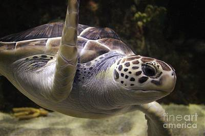 Close Up Sea Turtle Art Print by Paulette Thomas