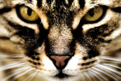 Tabby Cat Photograph - Close Up Shot Of A Cat by Fabrizio Troiani