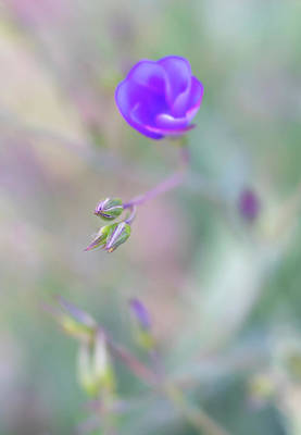 Photograph - Close Up, Soft Focus Of Blue Flax Wildflower With Small Buds by Barbara Rogers Nature Inspired Art Photography