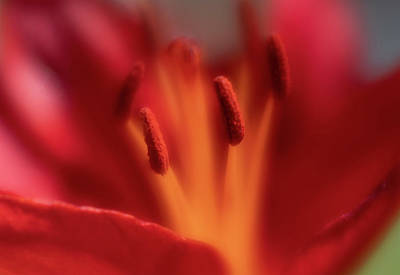 Photograph - Close-up, Soft Focus Of Bright Red Lily Flower by Barbara Rogers Nature Inspired Art Photography