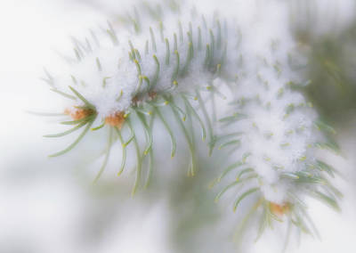 Photograph - Close Up, Soft Focus Of Fresh Snow On Pine Tree Limb by Barbara Rogers Nature Inspired Art Photography