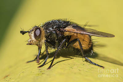 Photograph - Close Up - Tachinid Fly - Nowickia Ferox by Jivko Nakev