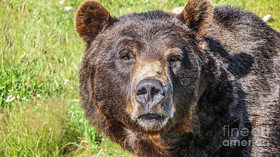 Photograph - Close-up View Of Staring Grizzly Bear In The Canadian Wilderness by JR Photography