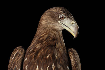 Bird Flight Photograph - Close-up White-tailed Eagle, Birds Of Prey Isolated On Black Bac by Sergey Taran