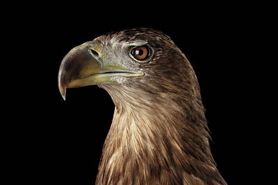 Wild Birds Photograph - Close-up White-tailed Eagle, Birds Of Prey Isolated On Black Background by Sergey Taran