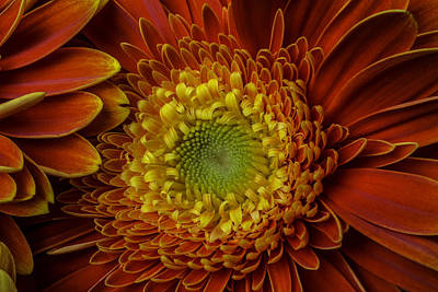 Gerbera Daisy Photograph - Close Up Yellow Red Mum by Garry Gay