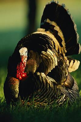 Close View Of A Male Wild Turkey Print by Joel Sartore