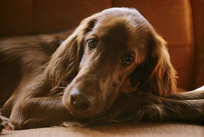 Close View Of An Irish Setter Relaxing Print by Brian Gordon Green