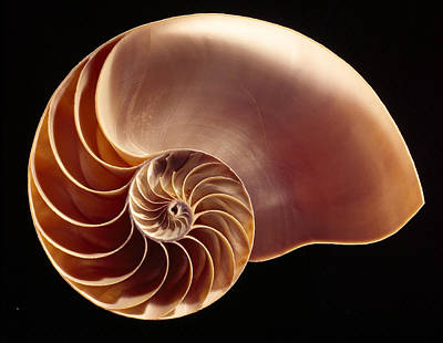 Photograph - Close View Of Chambered Nautilus by Victor R. Boswell, Jr