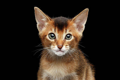 Closeup Abyssinian Kitty Curious Looking In Camera, Isolated Black Background Art Print by Sergey Taran