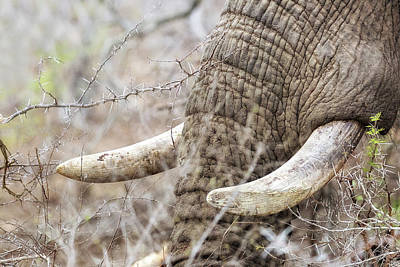 Photograph - Closeup African Elephant Tusks  by Susan Schmitz