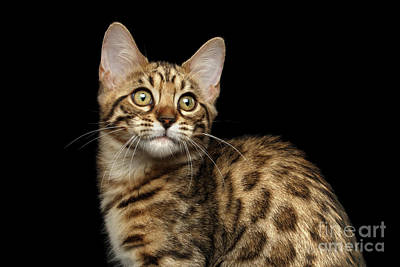 Closeup Bengal Kitty On Isolated Black Background Print by Sergey Taran