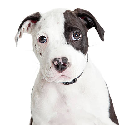 Full-length Portrait Photograph - Closeup Cute Pit Bull Puppy by Susan Schmitz