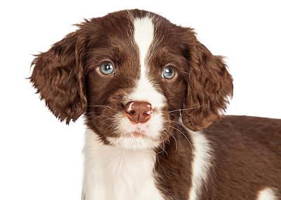 Closeup English Springer Spaniel Puppy Art Print by Susan Schmitz