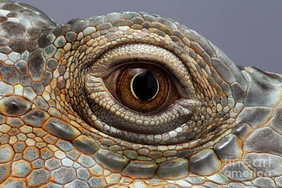 Closeup Eye Of Green Iguana Art Print