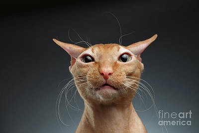 Closeup Funny Ginger Sphynx Cat Surprised Looking In Camera On Background Print by Sergey Taran