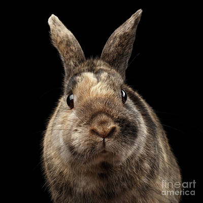 Closeup Funny Little Rabbit, Brown Fur, Isolated On Black Backgr Art Print by Sergey Taran