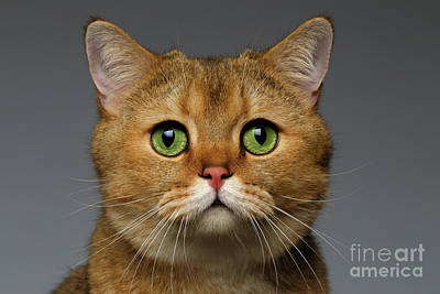 Cats Photograph - Closeup Golden British Cat With  Green Eyes On Gray by Sergey Taran