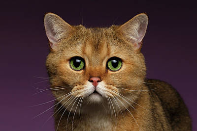 Domestic Photograph - Closeup Golden British Cat With  Green Eyes On Purple  by Sergey Taran
