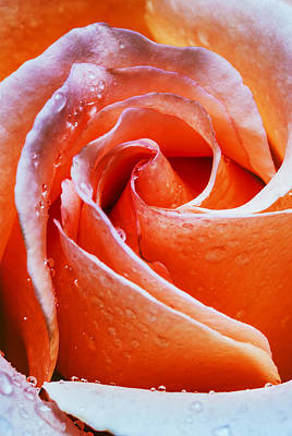 Peach-colored Photograph - Closeup Image Of Beautiful Peach Colored Rose With Dew Drops by Vishwanath Bhat