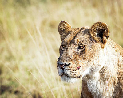 Photograph - Closeup Lioness by Susan Schmitz