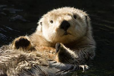 Closeup Of A Captive Sea Otter Making Print by Tim Laman