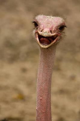 Ostrich Photograph - Closeup Of A Female, Captive Ostrich by Tim Laman