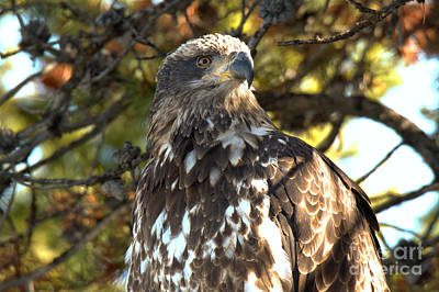 Photograph - Closeup Of A Golden Eagle by Adam Jewell