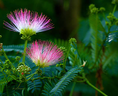 Photograph - Closeup Of A Mimosa Bloom by Jeanette C Landstrom