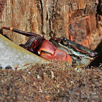 Photograph - Closeup Of A Peeking Crab by Susan Wiedmann
